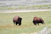 Playful Wild Male and Female Bison During the Rut