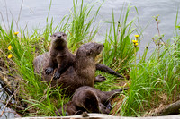 Curious Wild River Otter Family