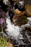 Wild Cutthroat Trout Ascending a Waterfall